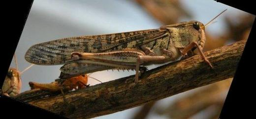 How Much Food Can Desert Locust Eat