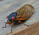 US East Coast Braces For The Onslaught Of The 17-Year Cicadas