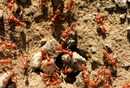 Can Red Wood Ants Predict Earthquakes?