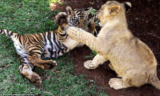 Abandoned Lion Tiger And Hyena Cubs Form Unusual Bond