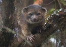 Thumb_olingo2-photo-of-olinguito-630x451