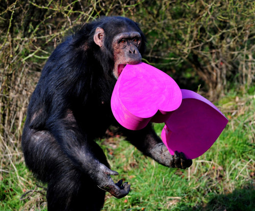 Video Of The Week Zoo Chimpanzees Get Into The Valentine S Day